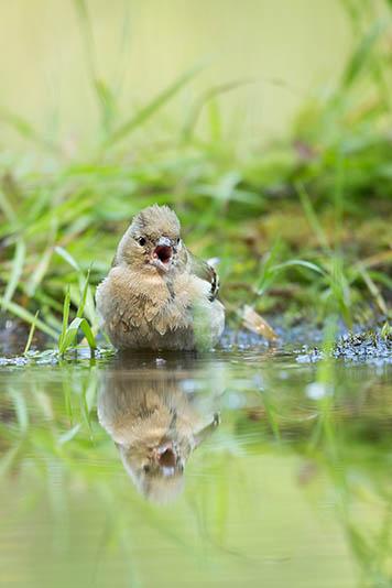 Vogels komen bij warmte graag even een badje nemen.