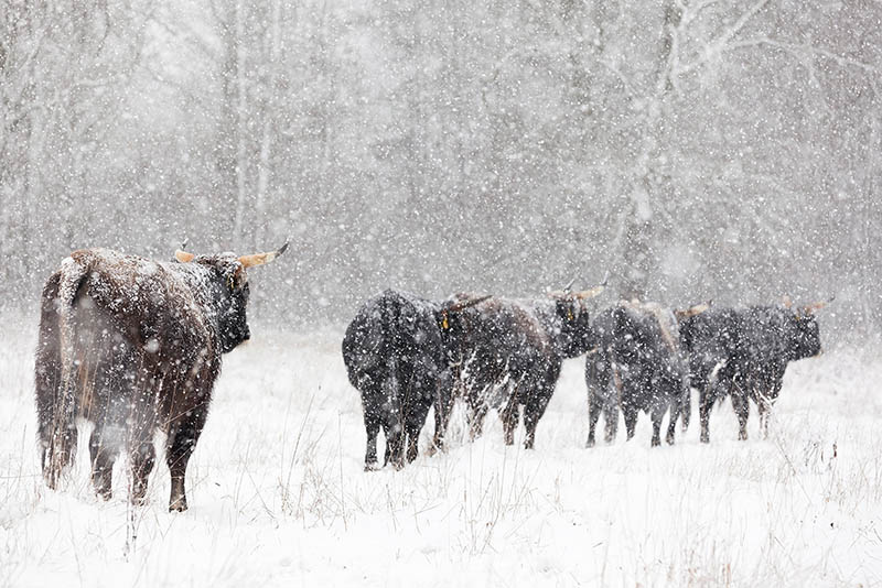 Taurossen in de sneeuw.