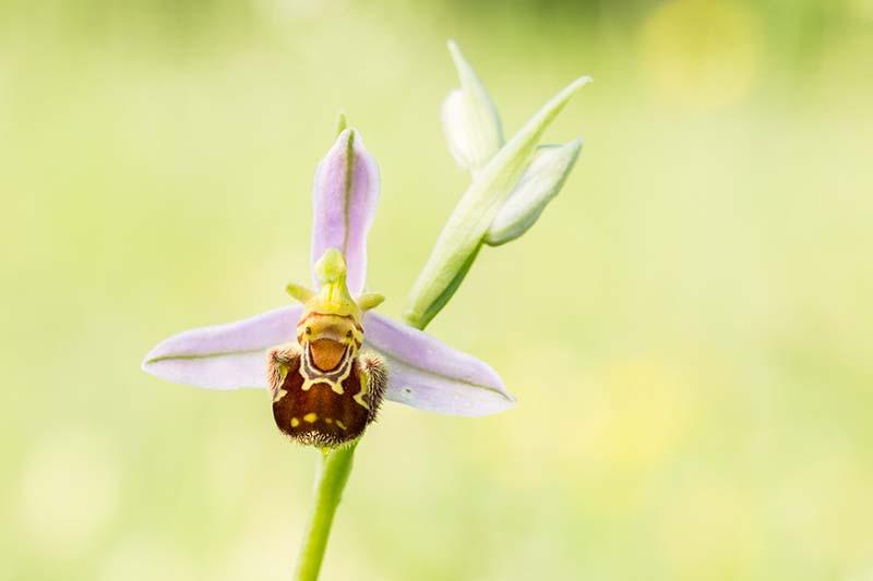 Bijenorchis, daar wordt toch iedereen vrolijk van?